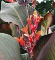 Canna Indica tmavý  purpurový list  hlíza