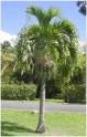 1 x naklíčené semeno Palma Adonidia merrillii