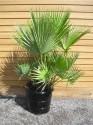 naklíčené semeno Palma Acoelorrhaphe wrightii
