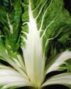 Mangold Lucullus Balení obsahuje 100 semen