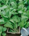 Šťovík zahradní (Rumex acetosa) Balení obsahuje 100 semen