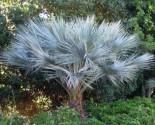 palma Brahea sp. 'Super Silver Balení obsahuje 3 semena