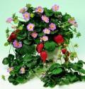 Jahodník Fragoo Deep Rose Balení obsahuje 30 semen