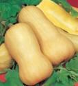 Tykev muškátová butternut  Balení obsahuje 7 semen
