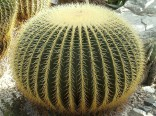 Kaktus Echinocactus grusonii Balení obsahuje 10 semen