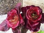 Čekanka Rosa di treviso Balení obsahuje 100 semen
