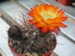 Kaktus Acanthocalycium aurantiacum Balení obsahuje 10 semen