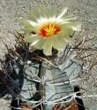 Kaktus Astrophytum niveum směs forem Balení obsahuje 20 semen