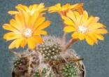 Kaktus Aylostera flavistylus Balení obsahuje 10 semen
