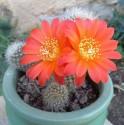 Kaktus Aylostera hoffmanniana Balení obsahuje 10 semen