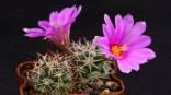 Kaktus Bartschella schumannii var. globosa Balení obsahuje 10 semen