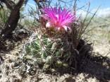 Kaktus Coryphantha vivipara Balení obsahuje 10 semen
