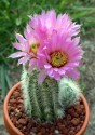 Kaktus Echinocereus albispinus Balení obsahuje 20 semen