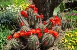 Kaktus Echinocereus coccineus mrazuvzdorný Balení obsahuje 20 semen