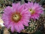 Kaktus Echinocereus kuenzleri Balení obsahuje 10 semen