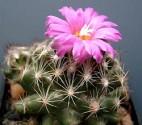 Kaktus Coryphantha hesteri Balení obsahuje 10 semen