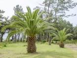 Sazenice Palma Phoenix canariensis Sazenice 1-2 první listy