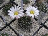 Kaktus Acanthocalycium klimpelianum Balení obsahuje 10 semen