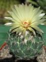 Kaktus Coryphantha palmeri Balení obsahuje 10 semen