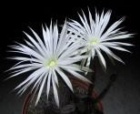 Kaktus Echinopsis mirabilis  Balení obsahuje 10 semen