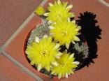Kaktus Echinopsis aurea  Balení obsahuje 10 semen