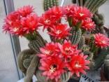 Kaktus Helianthocereus huascha var. Rubriflorus Balení obsahuje 10 semen