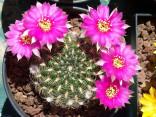 Kaktus Lobivia tiegeliana Balení obsahuje 10 semen