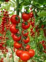 Rajče Ciliegino Di Pachino  Balení obsahuje 20 semen