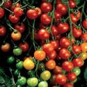 Rajče Sweetie Balení obsahuje 10 semen