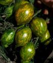 Rajče Mint Julep Balení obsahuje 10 semen