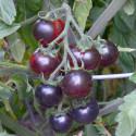 """Rajče Clackamas Blueberry """"borůvka"""" Balení obsahuje 10 semen"""