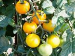 Rajče Romus Balení obsahuje 30 semen