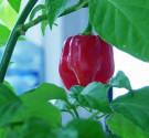 Chilli Habanero Red Savina Balení obsahuje 10 semen