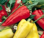 Paprika Zlata Balení obsahuje 30 semen