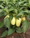 Paprika Amy Balení obsahuje 30 semen