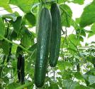 """Okurka salátová """"hadovka"""" Piret Bing Balení obsahuje 30 semen"""