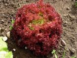Salát Lollo rosso Balení obsahuje 150 semen