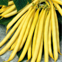 Fazol Berggold - keříčkový Balení obsahuje 30 semen