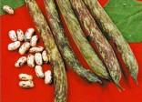 Fazol zahradní Bobis D´albenga Balení obsahuje 30 semen