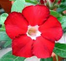 Adenium Obesum Royal Ruby   Balení obsahuje 5 semen