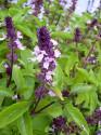 Bazalka skořicová - Basil Cinnamon Balení obsahuje 200 semen