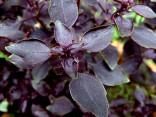"""Bazalka červená  """"Basilico Rosso"""" Balení obsahuje 200 semen"""
