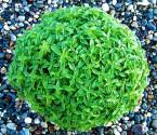 Bazalka Greco a Palla - Řecký míč Balení obsahuje 200 semen