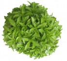 Bazalka Fino Verde Balení obsahuje 200 semen