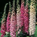 Digitalis Grandiflora - Náprstník směs barev Excelsior Hybrids 200 semen Balení obsahuje 200 semen