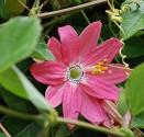Passiflora mollissima - Mučenka banánová Balení obsahuje 5 semen