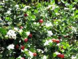 Carrisa Grandiflora Balení obsahuje 5 semen