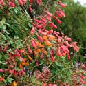 Eccremocarpus Scaber Mix barev - Úponatka Balení obsahuje 50 semen