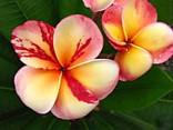 Plumeria Frangipani Top Angel   Balení obsahuje 3 semena