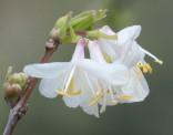 Lonicera Fragrantissima - Zimolez vonný Balení obsahuje 15 semen